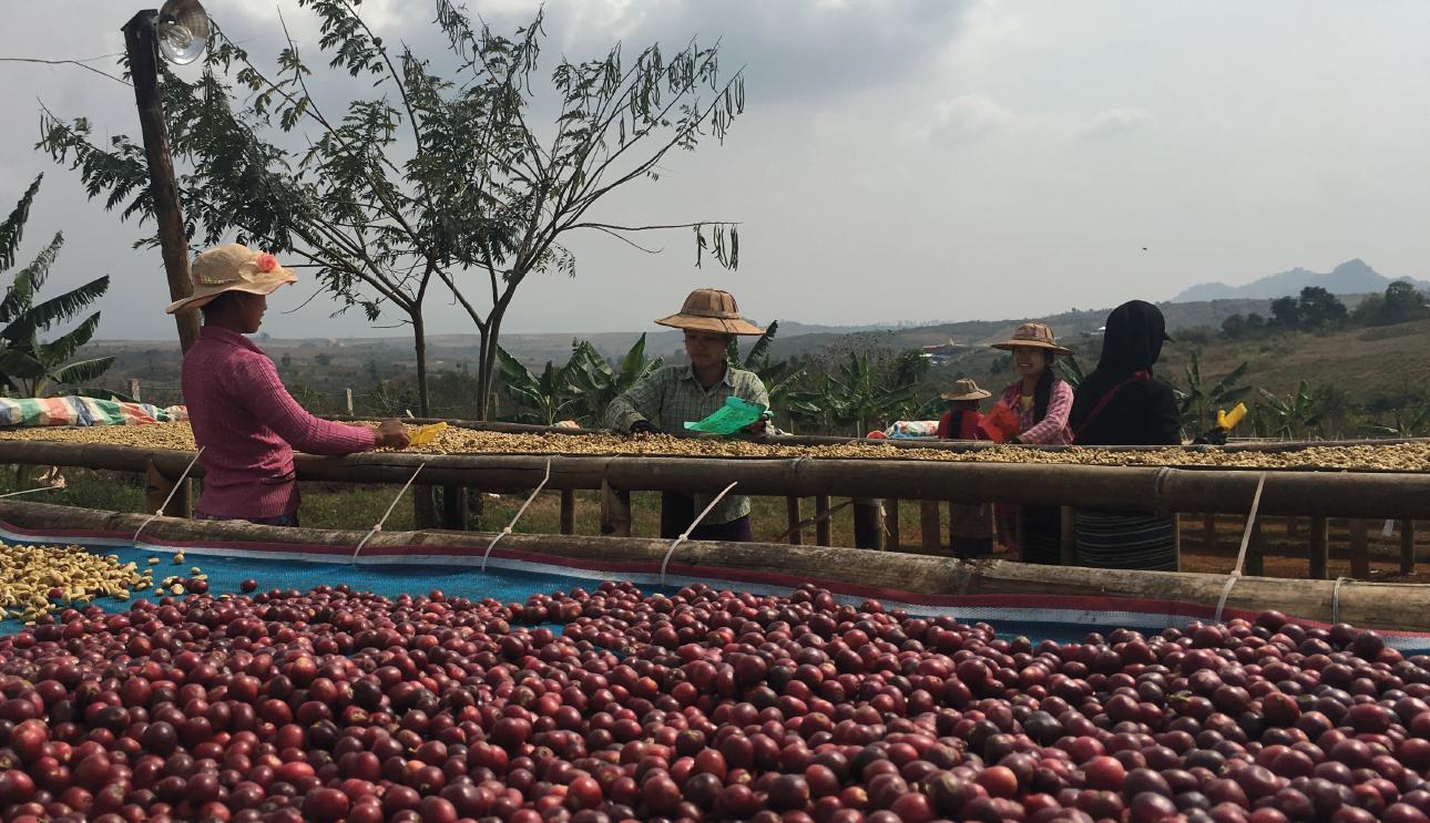 Myanmar Coffee Production