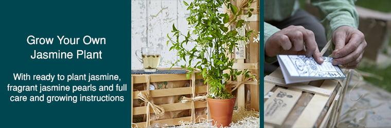 Grow Jasmine Tea Plant