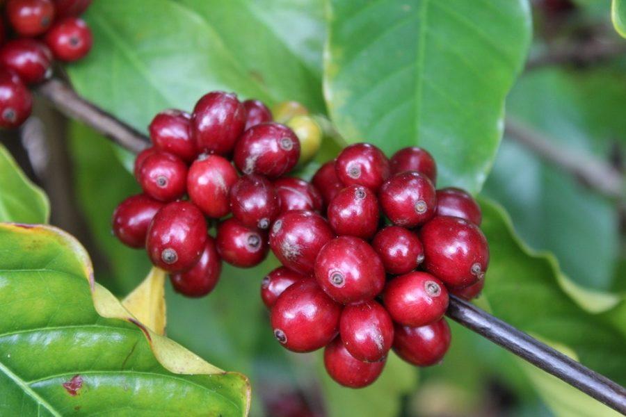 Mexican-Coffee-Chiapas-cherry-Coffee-Beans