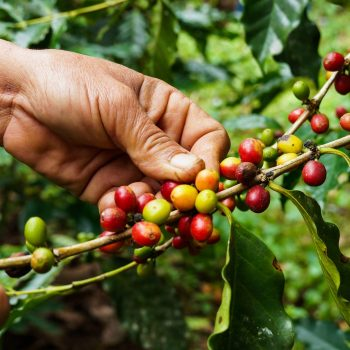 is organic coffee better guide
